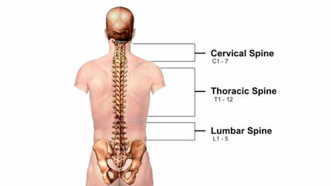 Spine diagram that shows the Cervical spine from neck to shoulders, Thoracic Spine from shoulders to mid back, and lumbar spine from mid to low back